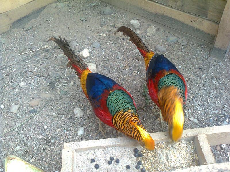 Породы фазанов с фото и описанием декоративные