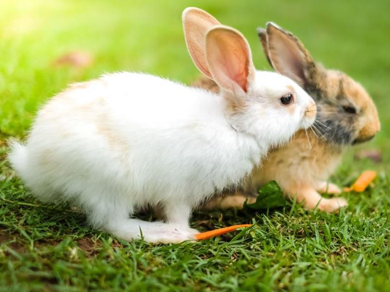 Породы кроликов меховых, мясных и декоративных