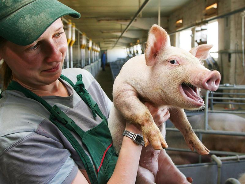 Выращивание свиней в домашних условиях, как бизнес и как развиться