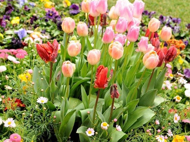 Тюльпаны увяли, что делать
