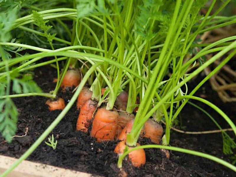 Правила ухода за морковью