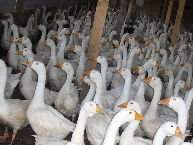 Условия выращивания гусей
