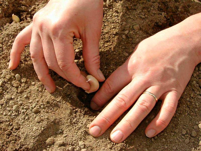 глубина посадки чеснока