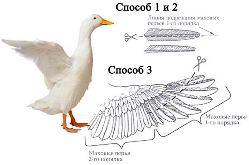 как обрезать уткам крылья