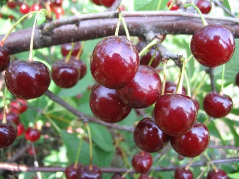 Популярные сорта вишни для средней полосы России: сорт Десертная Морозова