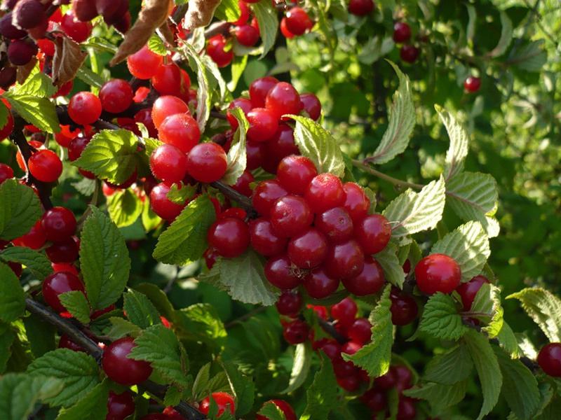 Популярные сорта вишни для средней полосы России: сорт Обильная