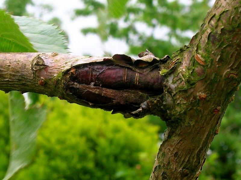Популярные сорта вишни для средней полосы России и болезни деревьев