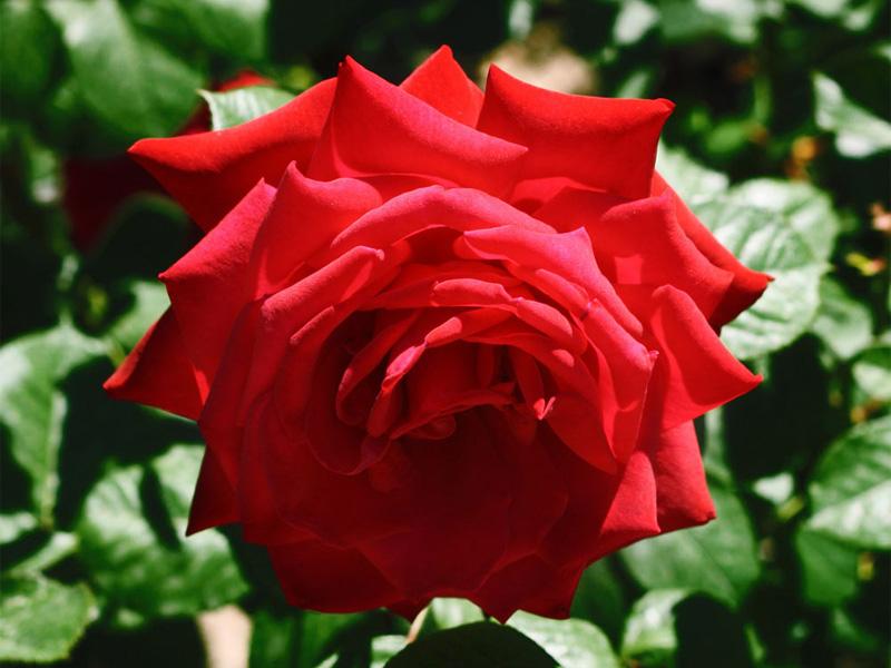 Роза чайно-гибридная: сорта и описание розы Red queen