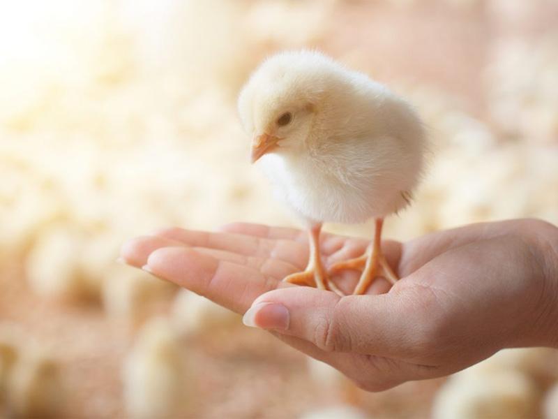 Как определить пол цыпленка с помощью генетики