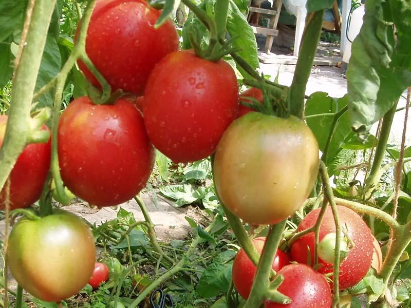Назначение томатов Земляк