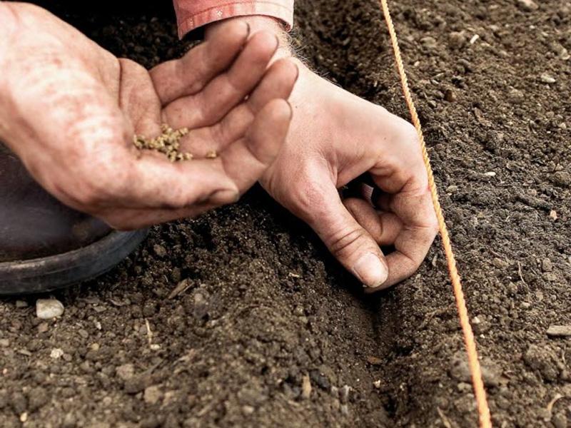 Посадка свеклы семенами в открытый грунт и правильное высаживание овоща