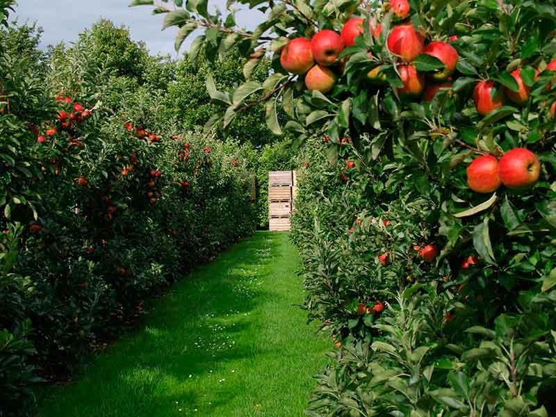 сад плодовых деревьев