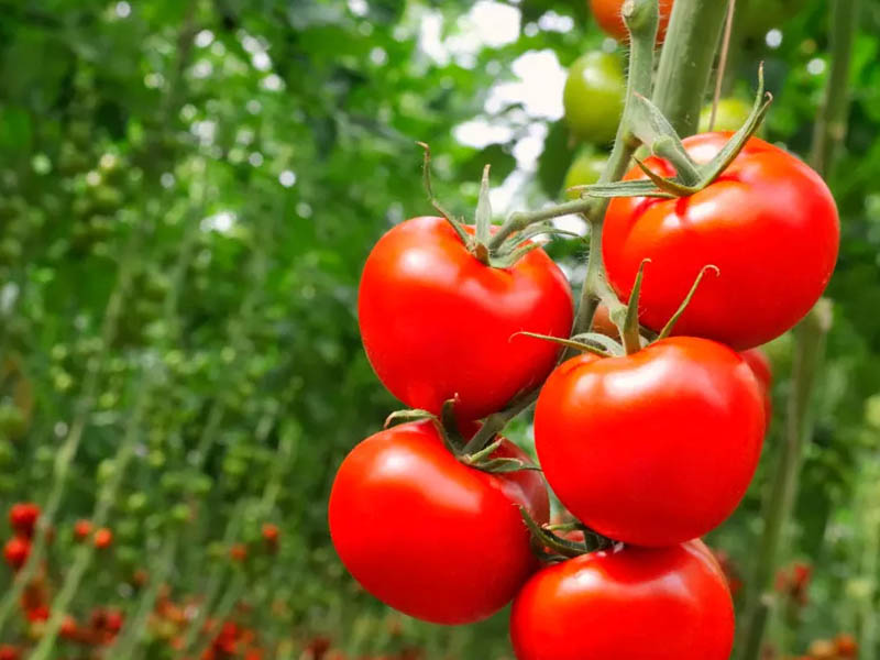 Сорт помидоров Бабушкино