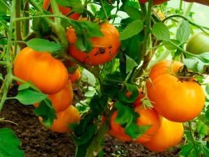 Сорт томата Медовый спас