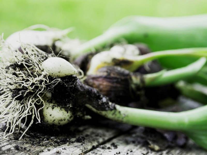 Выкапывание луковиц тюльпанов