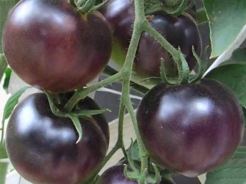 как растёт этот томат Виагра