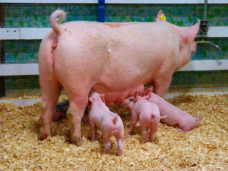 Кормление супоросных свиноматок
