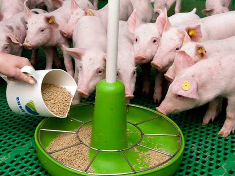 Нормы кормления свиней