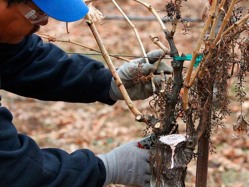 Сроки укрытия винограда