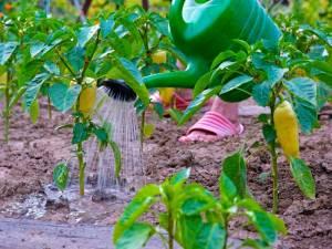 Как правильно поливать перец