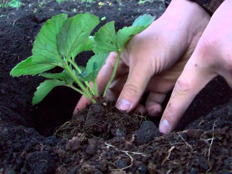 Как сажать рассадой