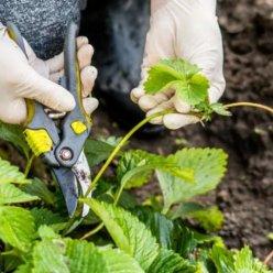 Что делать с клубникой после сбора урожая