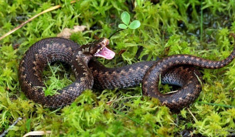 Как не посинеть после укуса змеи