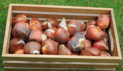 Луковицы тюльпанов из Голландии