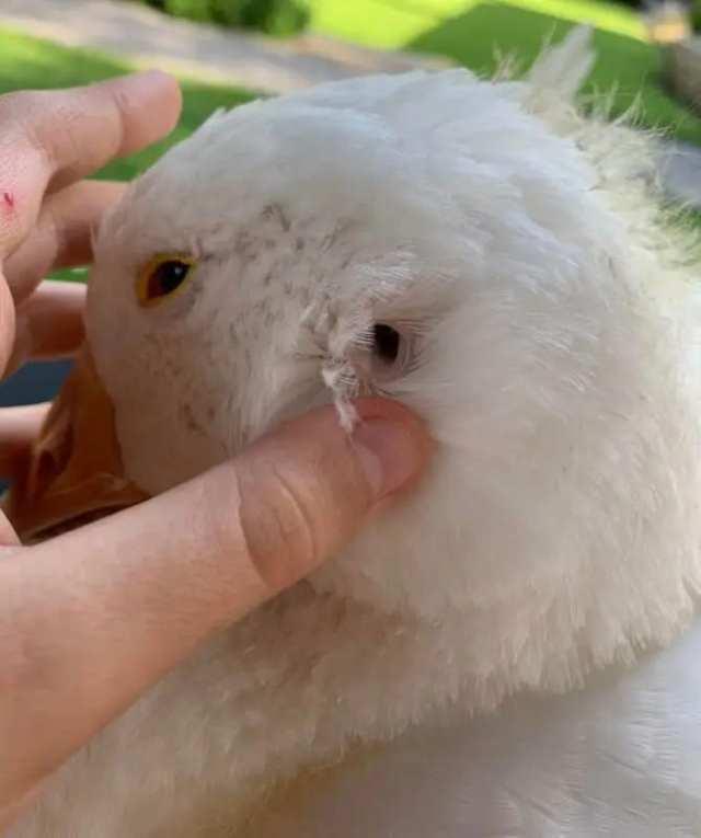Так выглядит ухо гуся и других птиц