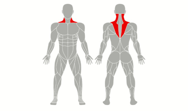 Traps (The Kite-Shaped Muscle) | Types of Muscles That You Can Bulk Up | muscular system functions | dumbbell bench press