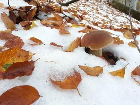 vrganj ispod snijega 2