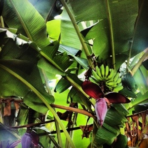 Banana trees everywhere.