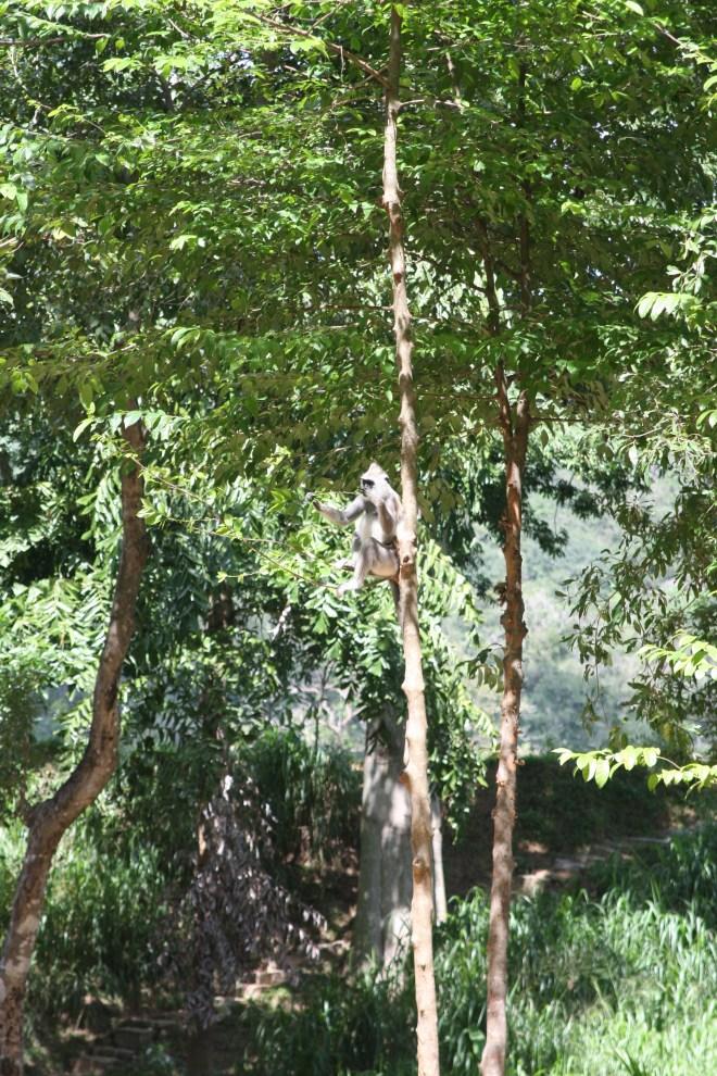 The Ulpotha monkeys.