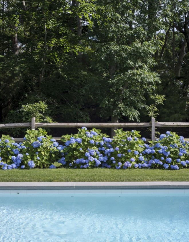 The poolside lined with blue Hydrangeas.