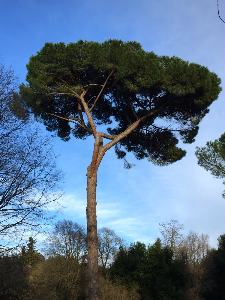 The gorgeous Italian Stone Pine or Umbrella Pines loom gracefully over all the parks in the city.