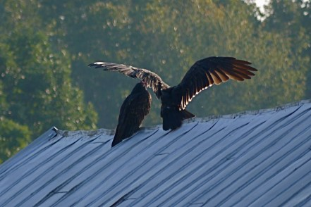 Buzzards getting dry after a rainstorm
