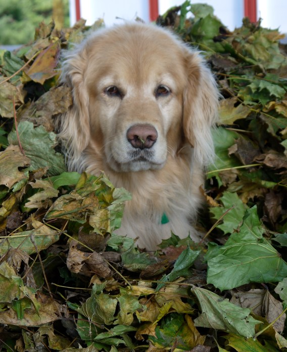 Ginger in the leaves