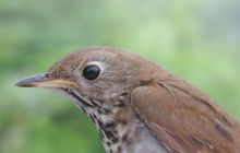 Possible extinction of Bicknell's thrush tied to global climate change