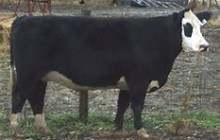 Police say missing 1,200-pound steer is stolen goods