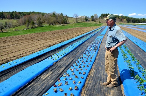 Bob Gray inspects vast rows of plastic-covered raised beds where he grows vegetables at 4 Corners Farm in West Newbury next to the Connecticut River. The former Nordic Olympian became a trend-setter by jumping into raising market garden crops in the mid-1970s. Photo by Andrew Nemethy