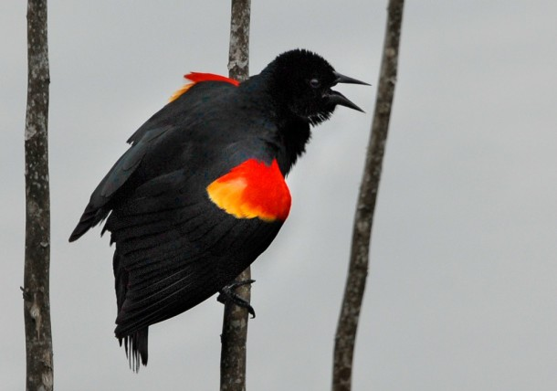 Red-winged blackbird at Lake Woodruff. Photo by Andrea Westmoreland via Flickr
