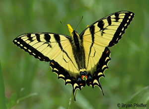 Canadian tiger swallowtail. Photo by Bryan Pfeiffer