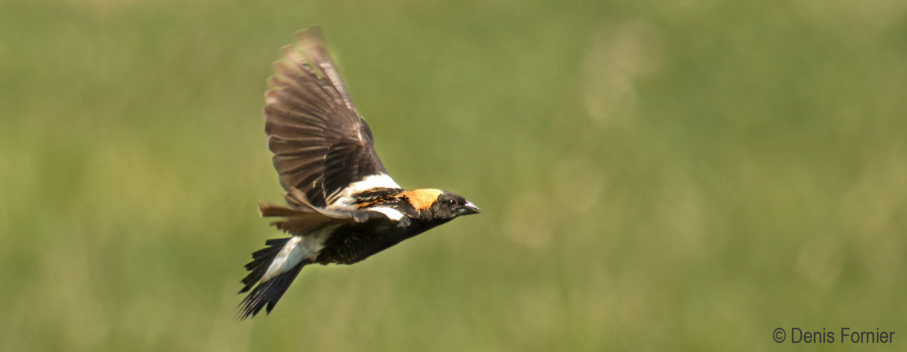 Bobolink Research  Vermont Center for Ecostudies