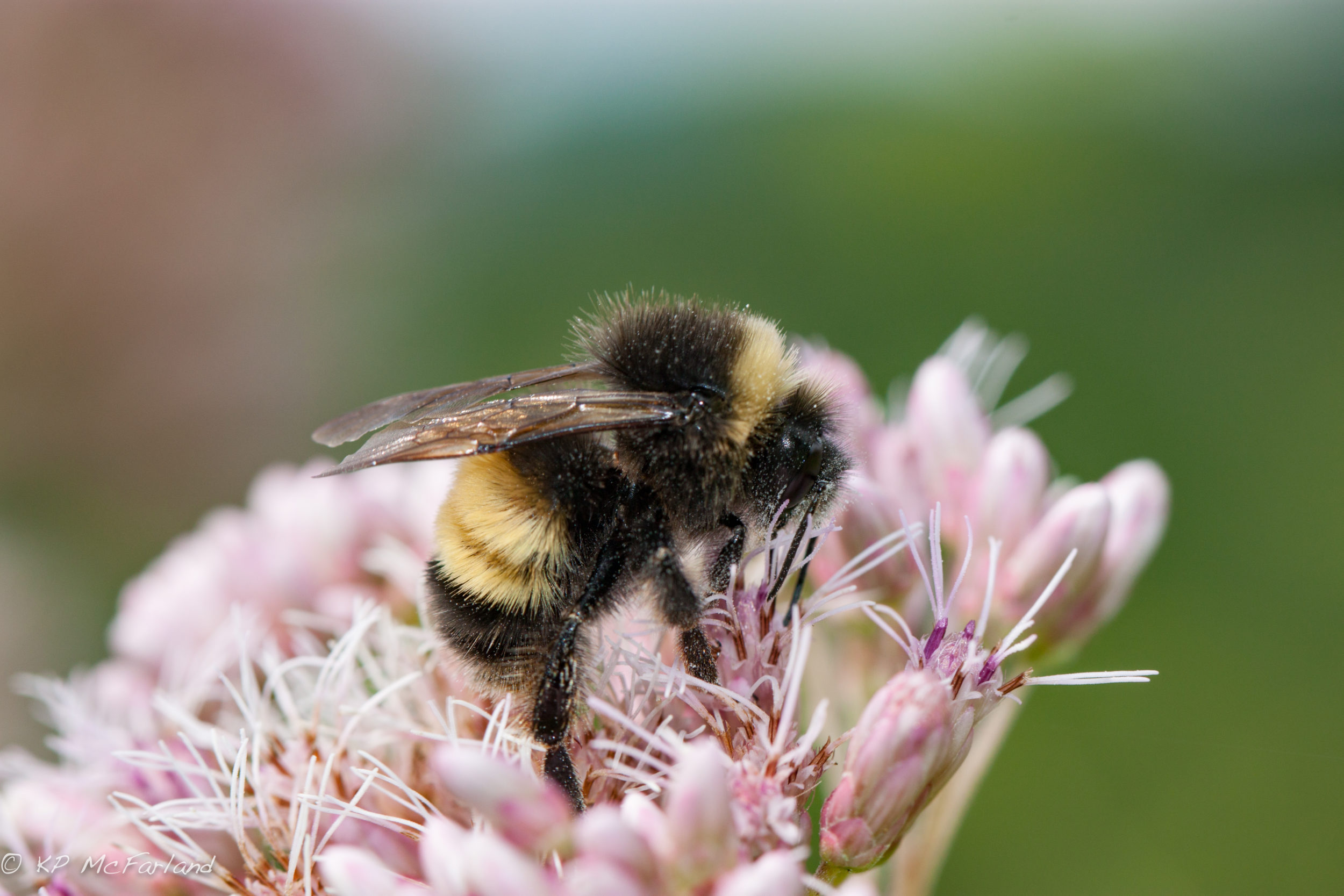 Study Reveals Striking Decline Of Vermont S Bumble Bees