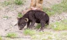 Kleine hyena Diergaarde Blijdorp