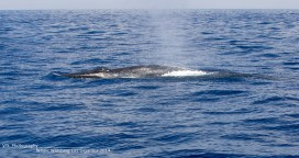 Bryde's-whale