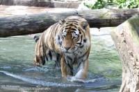 Tijger dierenpark Amersfoort (8)