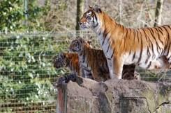 Tijger Familie Olmense Zoo