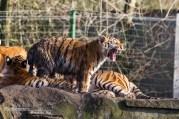 Tijgertje Olmense Zoo