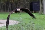 Amerikaanse Zeearend Roofvogelshow Hoenderdaell